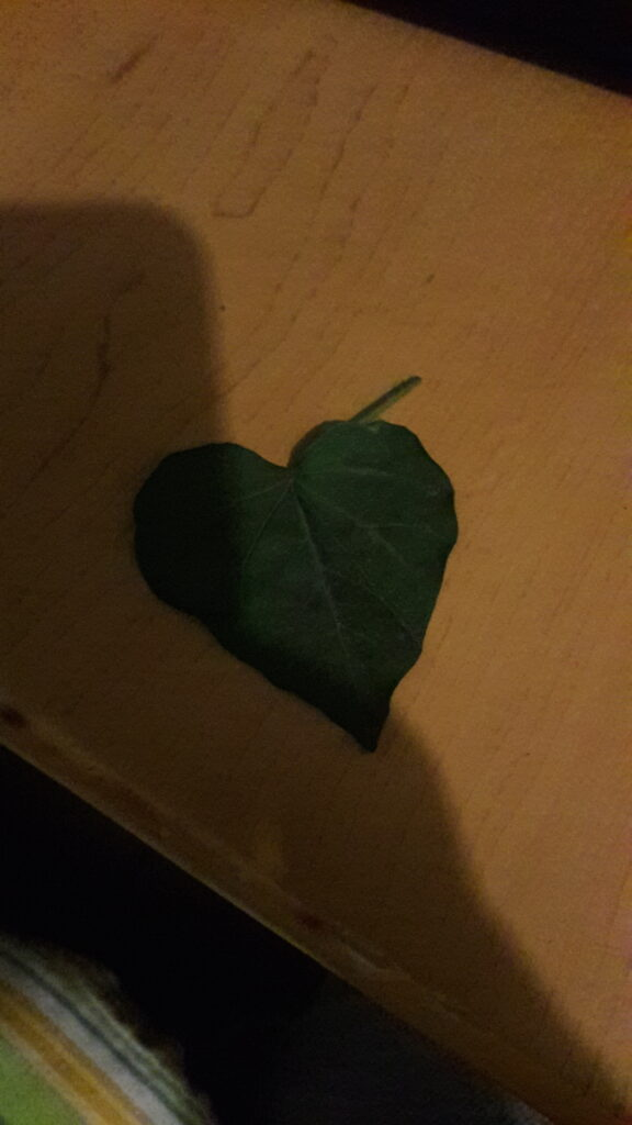 planta corazón