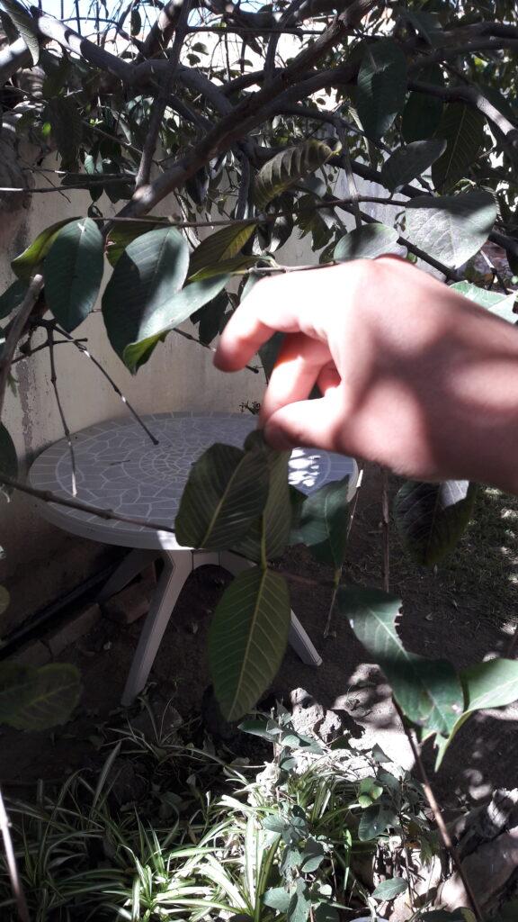 hojas pegadas
